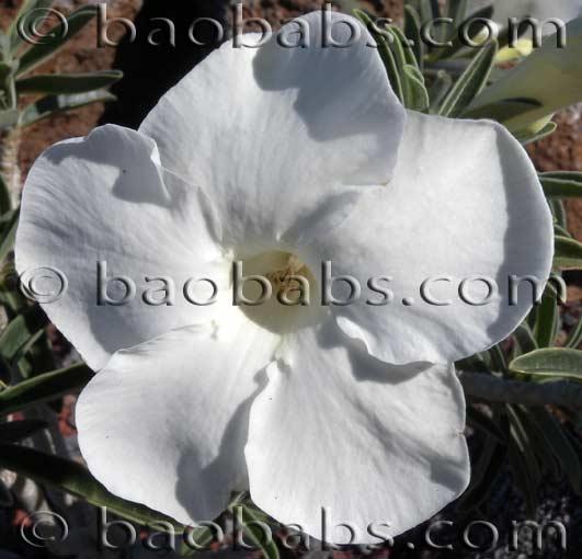 Adenium obesum WHITE